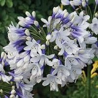 Agapanthus-twister