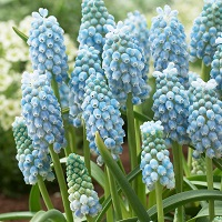 Muscari-peppermint