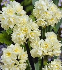Narcissi EARLY CHEER